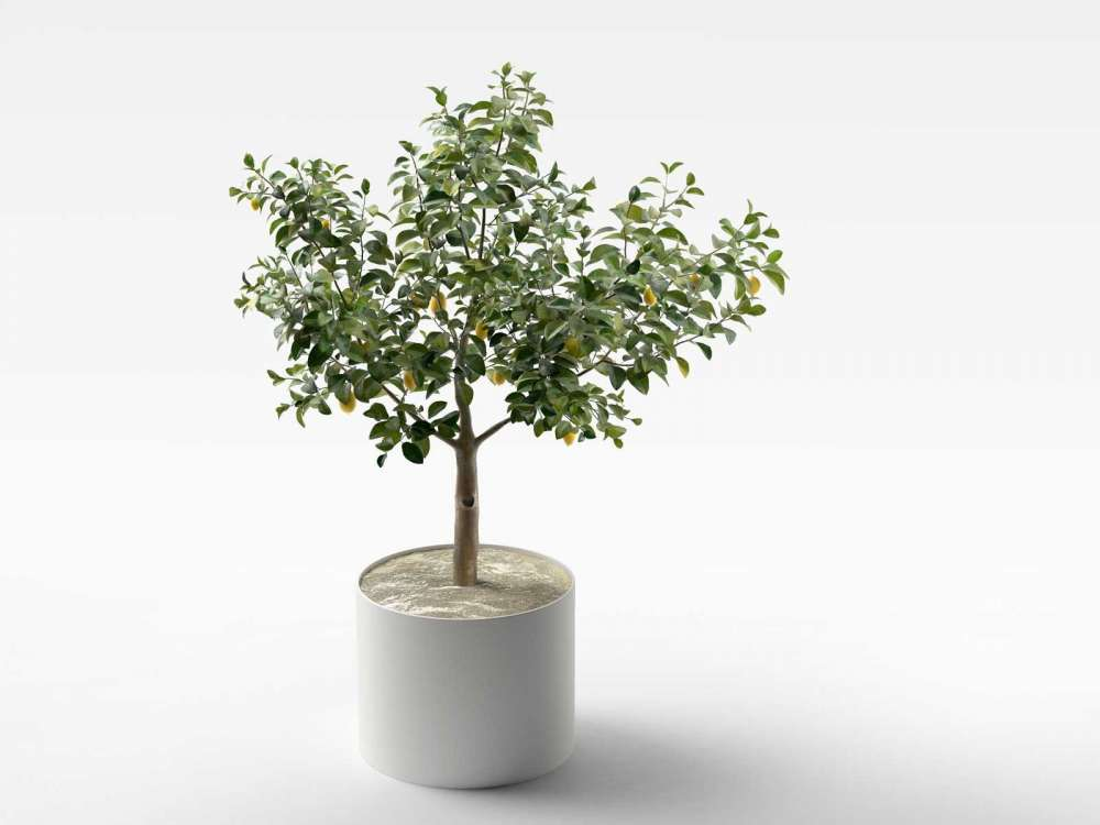 Lemon Tree in Pot 3d model