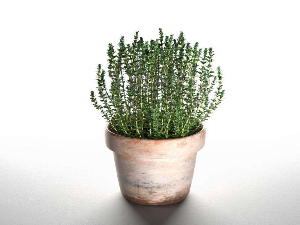 Thyme in Pot 3d model