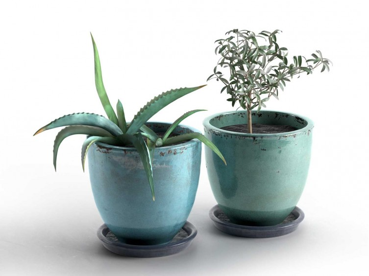 Aloe and Olive Plants in Pots