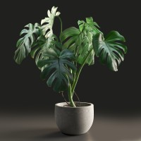 Monstera in Pot