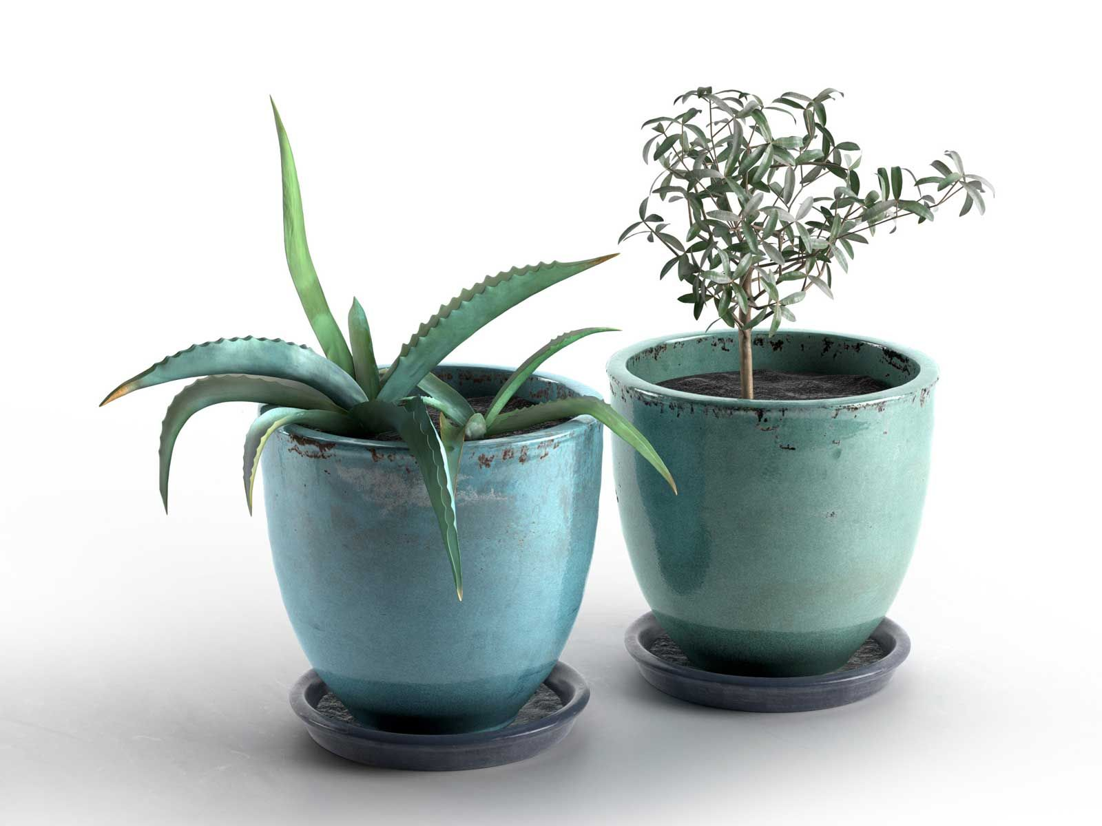 Aloe and olive plants in pots - Aloe vera en pot ...